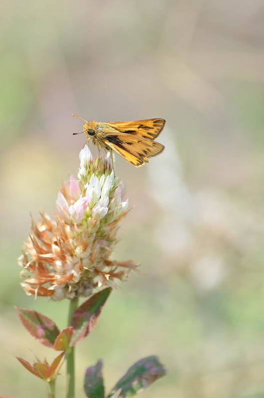 Skipper Butterfly Art Print featuring the photograph Fiery Skipper by Kathy Gibbons
