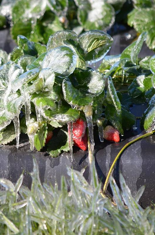 Strawberries Art Print featuring the photograph First Freeze Of The Season by Carrie Munoz
