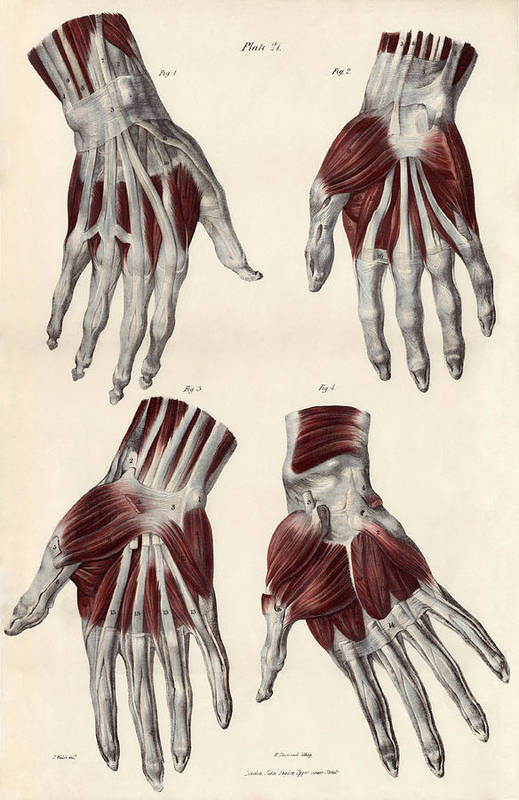 Hand Art Print featuring the photograph Muscles Of The Hand by Sheila Terry