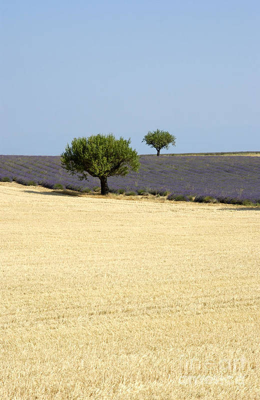The Tourism Trade Art Print featuring the photograph Olive Trees. Provence by Bernard Jaubert