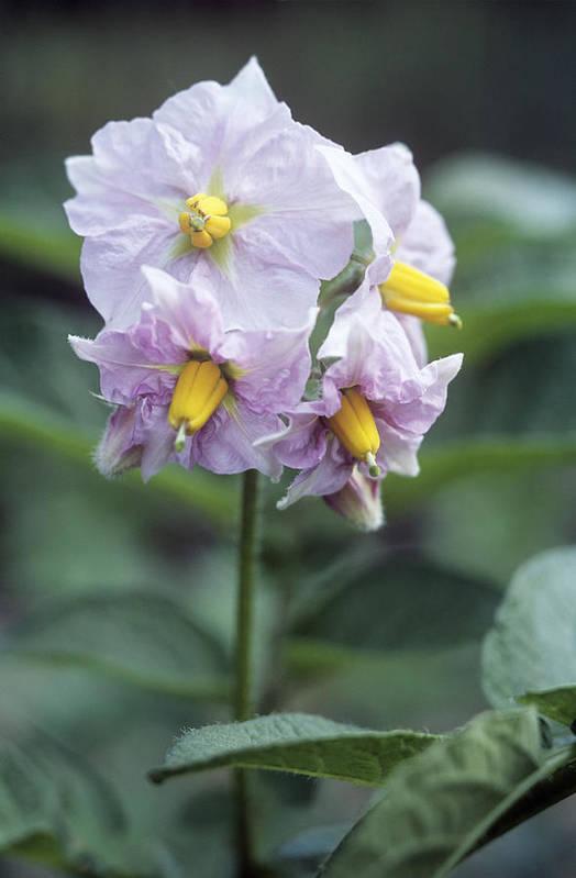 Solanum Tuberosum Print featuring the photograph Potato (solanum Tuberosum 'charlotte') by Maxine Adcock
