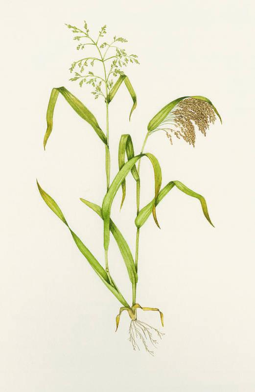 Common Millet Art Print featuring the photograph Proso Millet (panicum Miliaceum), Artwork by Lizzie Harper