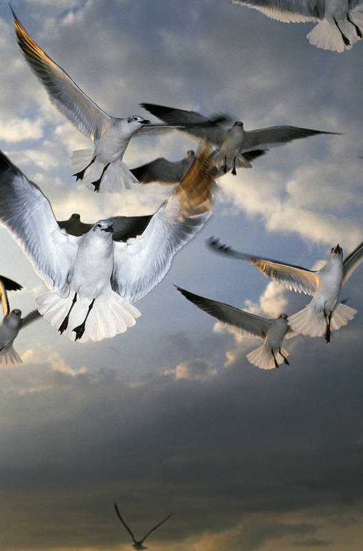 Animal Art Print featuring the photograph Seagulls In Flight by Natural Selection Ralph Curtin