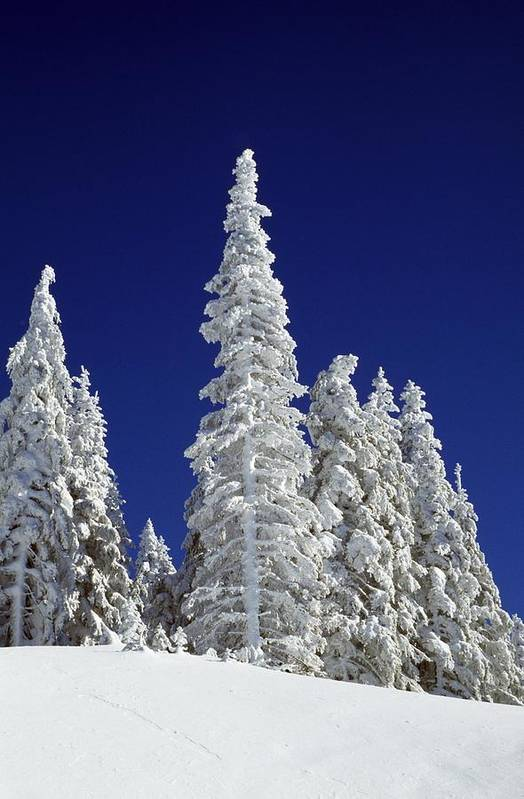 Frozen Art Print featuring the photograph Snow-covered Pine Trees by Natural Selection Craig Tuttle