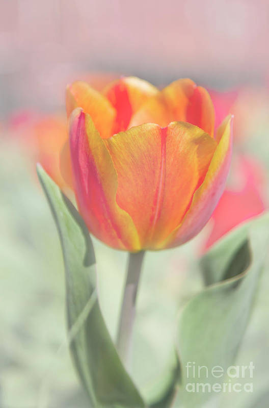Tulip Art Print featuring the photograph Tulip Mosaic by Carolyn Fox