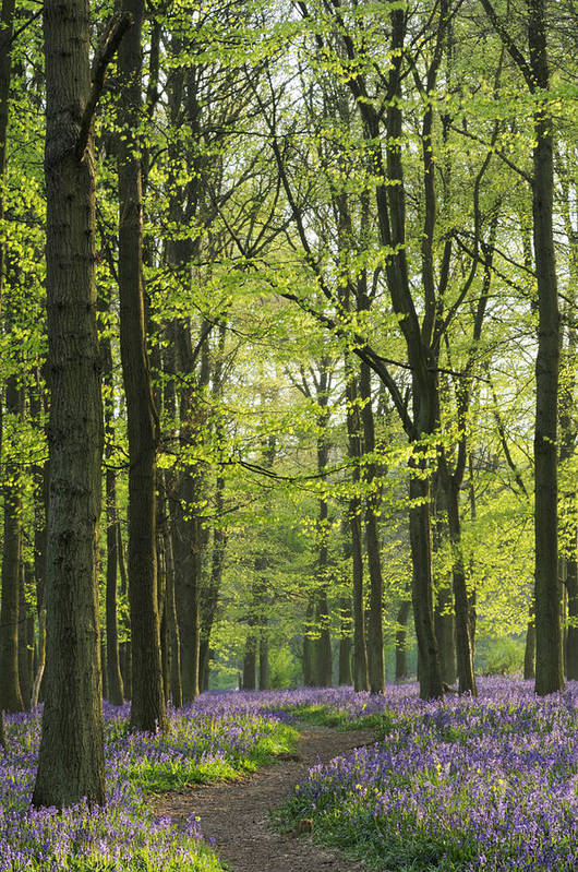 Bluebell Art Print featuring the photograph Bluebell Wood by Liz Pinchen