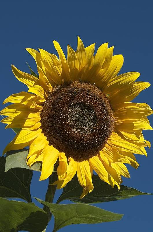 Flower Art Print featuring the photograph Sunflower by Christine Russell