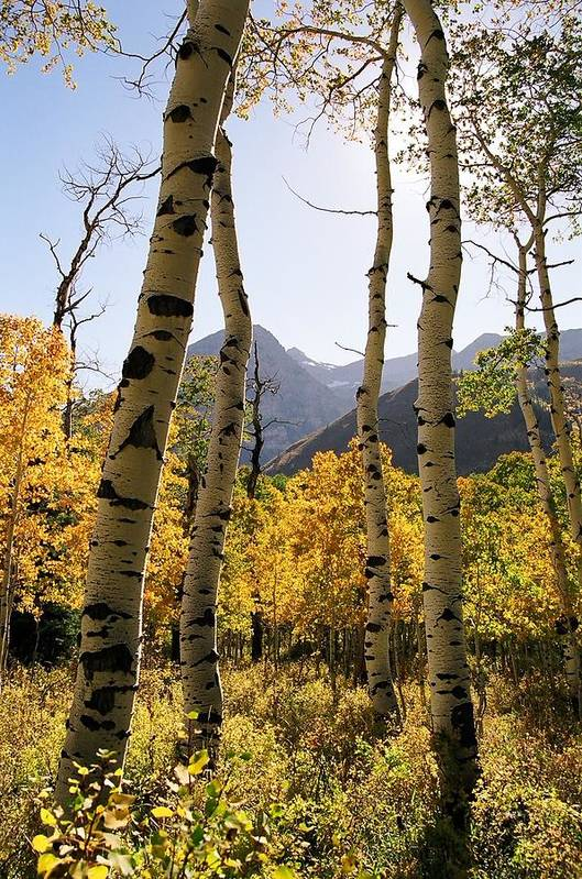 Trees Art Print featuring the photograph 4 Aspens by Caroline Clark