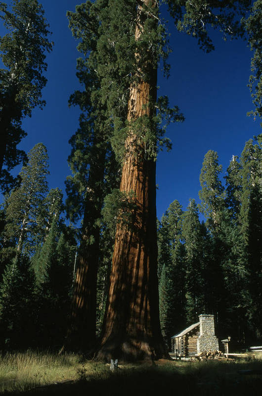 Outdoors Art Print featuring the photograph A Giant Sequoia Tree Towers by Phil Schermeister