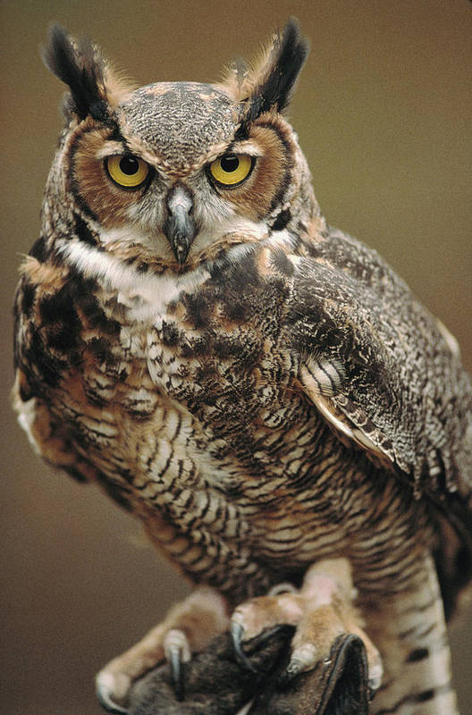Indoors Art Print featuring the photograph Captive Great Horned Owl, Bubo by Raymond Gehman