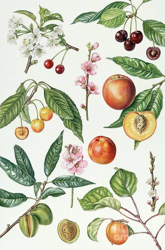 Morello Cherry; Sweet; Napoleon Bigarreau; Peach; Blossom; Nectarine; Almond; Apricot; Stone; Fruit; Botanical; Blossoms; Cherries; Nectarines; Almonds; Apricots; Peaches Art Print featuring the painting Cherries And Other Fruit-bearing Trees by Elizabeth Rice