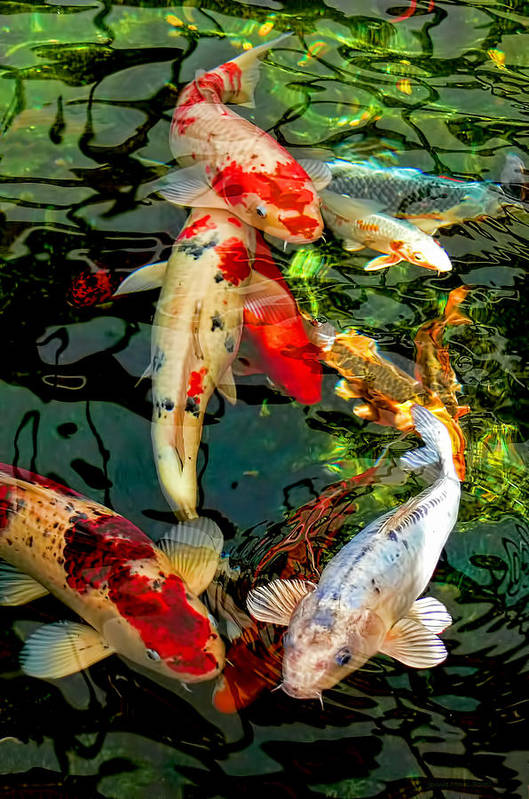 Colorful Japanese Koi Fish Art Print by Jennie Marie Schell