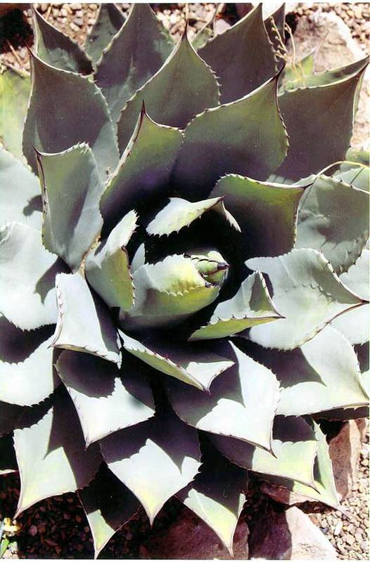 Flower Art Print featuring the photograph Dessert Agave by Margaret Fortunato