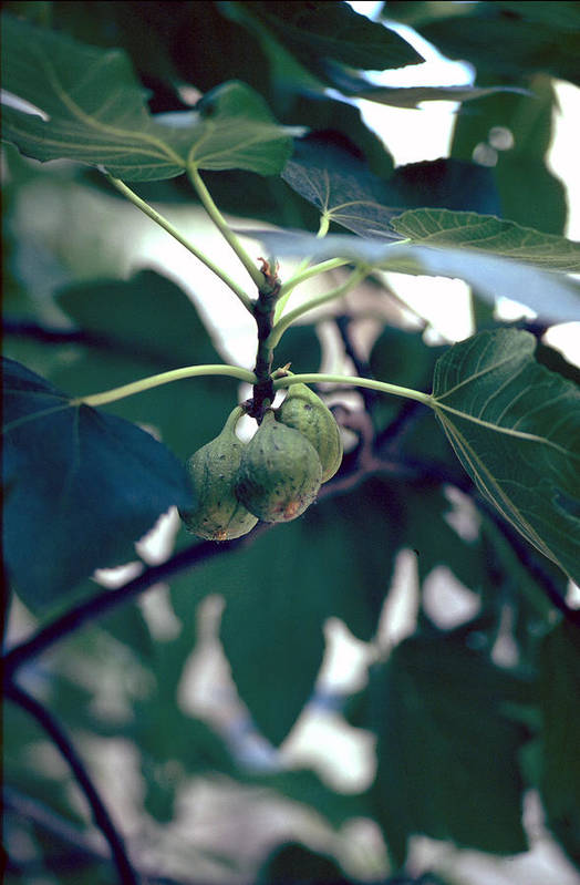 Fig Art Print featuring the photograph Fig by Flavia Westerwelle