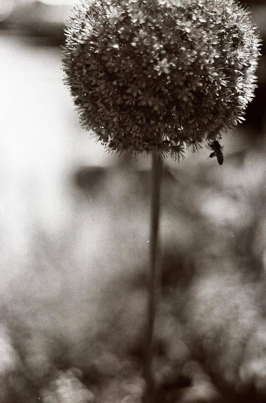 Flowers Art Print featuring the photograph Flowering Garlic by Linnea Tober