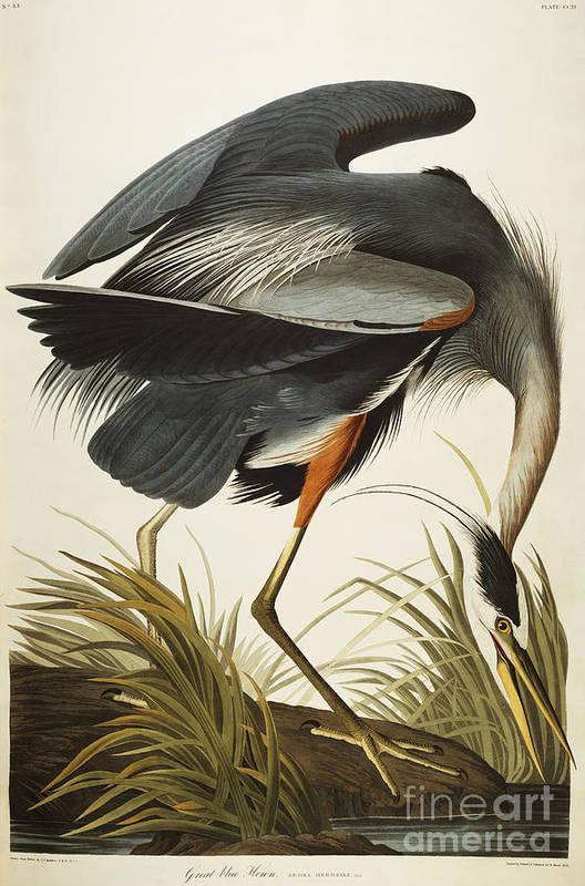 Great Blue Heron (ardea Herodias) Plate Ccxi From 'the Birds Of America' (aquatint & Engraving With Hand-colouring) By John James Audubon (1785-1851) Art Print featuring the drawing Great Blue Heron by John James Audubon