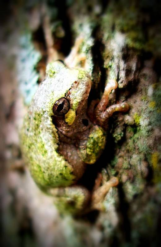 Tree Frog Art Print featuring the photograph Leveli Beka Ketto by Scot Johnson