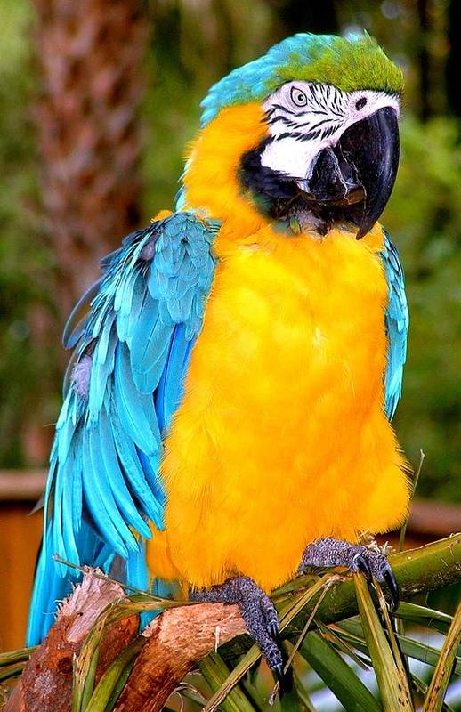 Bird Art Print featuring the photograph Majestic Macaw by Joseph Gillette