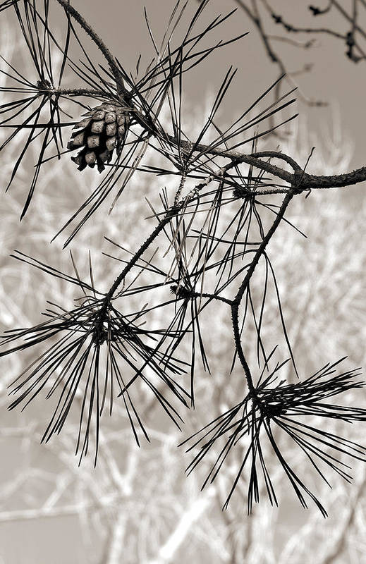Tree Art Print featuring the photograph Needles Everywhere by Marilyn Hunt