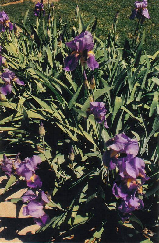 Iris Flowers Art Print featuring the photograph Purple Iris by Gayle Hartman
