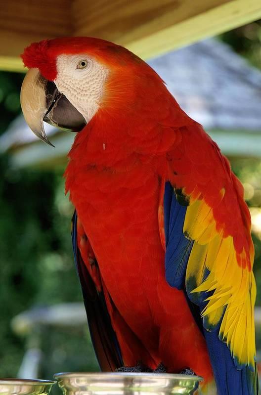 Parrot Art Print featuring the photograph Red Bird by LeeAnn Alexander
