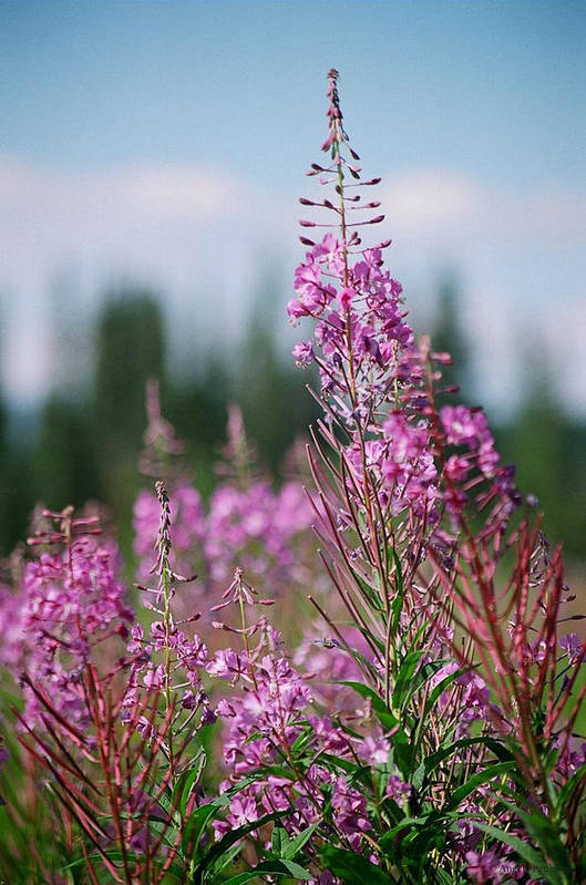 Fireweed Art Print featuring the photograph Rejoice by Angela Patterson