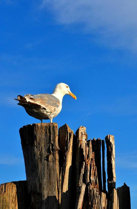 Seagull Art Print featuring the photograph Seagull On A Dock 2 by Andrew Dinh