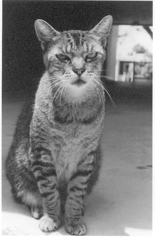 Cat Art Print featuring the photograph Serious Cat Model by Liza Beckerman