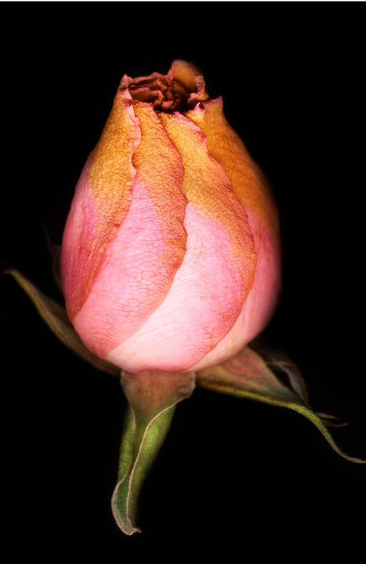 Rose Art Print featuring the photograph single Rose by Marilyn Hunt