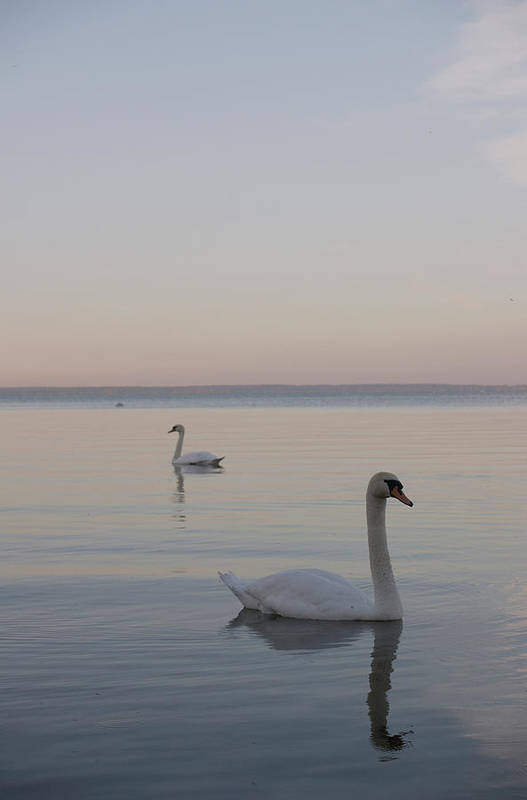 Art Print featuring the photograph Two Swans by Stanislovas Kairys
