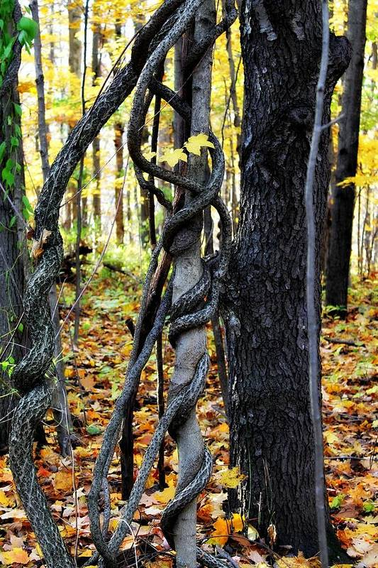 Trees Art Print featuring the photograph Twisted by Rebecca Frank
