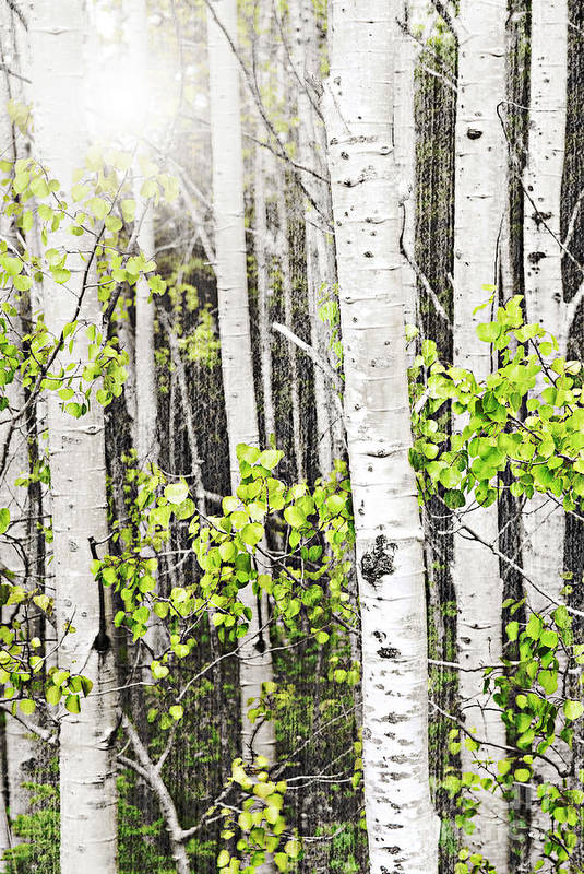 Aspen Art Print featuring the photograph Aspen Grove by Elena Elisseeva