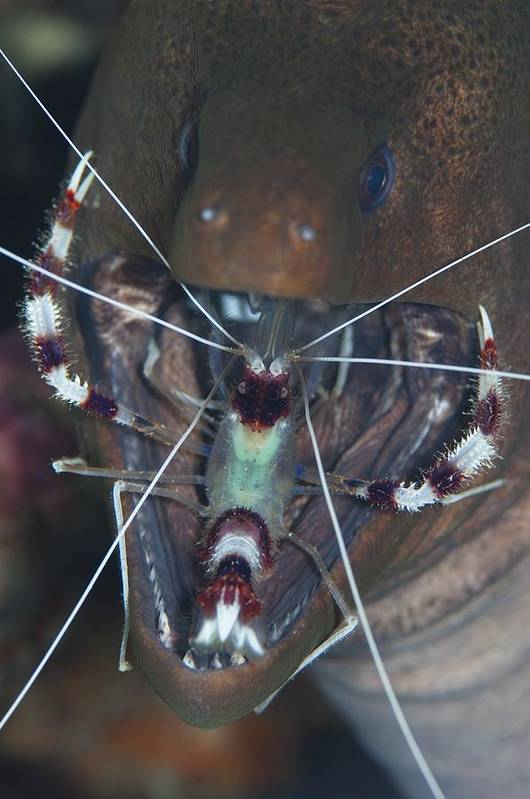 Banded Boxer Shrimp Art Print featuring the photograph Boxer Shrimp Cleaning In Mouth Of Eel by Science Photo Library