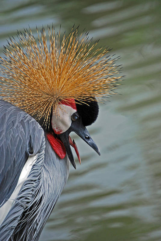 Crane Print featuring the photograph Crowned Crane by Skip Willits
