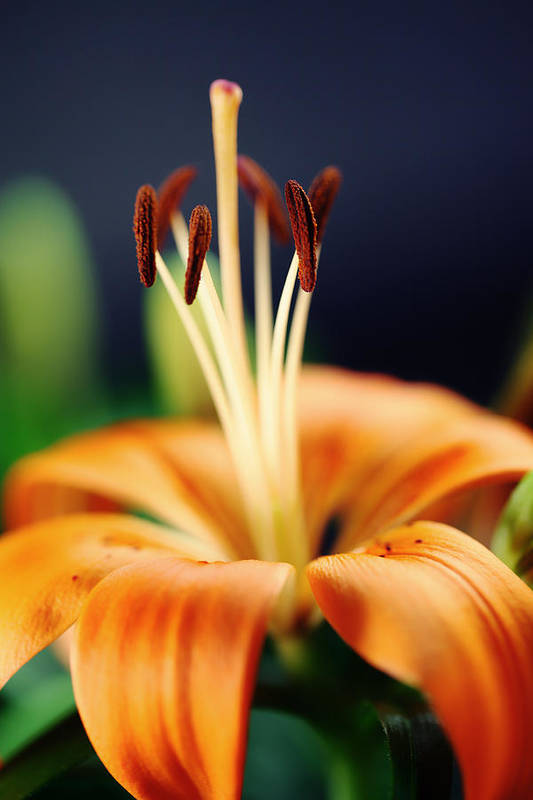 Lilie Art Print featuring the photograph Lily by Falko Follert
