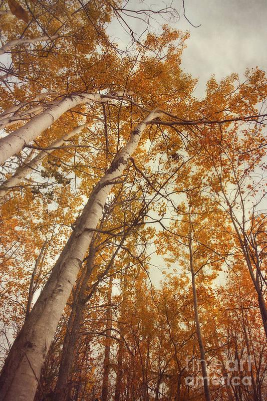 Aspen Art Print featuring the photograph Autumn Aspens by Priska Wettstein