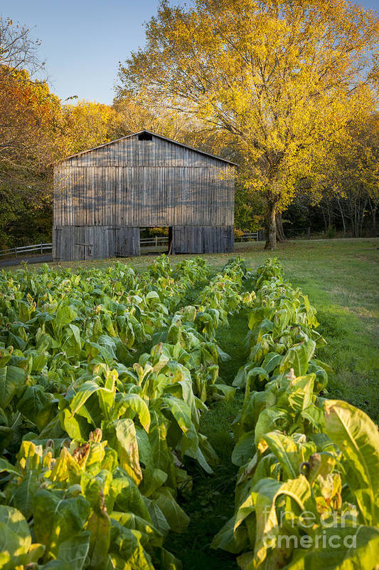 America Art Print featuring the photograph Old Tobacco Barn by Brian Jannsen