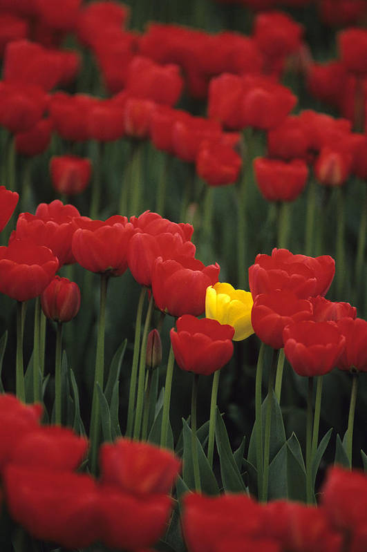 Travel Print featuring the photograph Rows Of Red Tulips With One Yellow Tulip by Jim Corwin