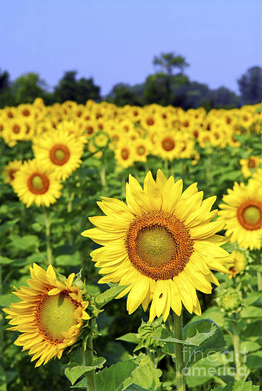 Sunflower Art Print featuring the photograph Sunflower Field by Elena Elisseeva
