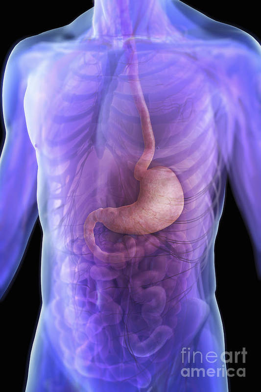 Transparent Art Print featuring the photograph The Stomach by Science Picture Co