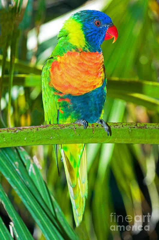 Nature Art Print featuring the photograph Rainbow Lorikeet by Millard H. Sharp