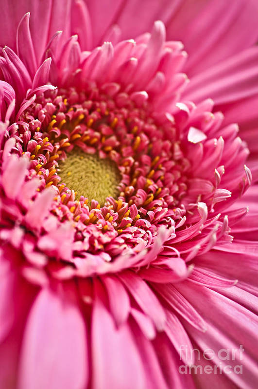 Flower Art Print featuring the photograph Gerbera Flower by Elena Elisseeva