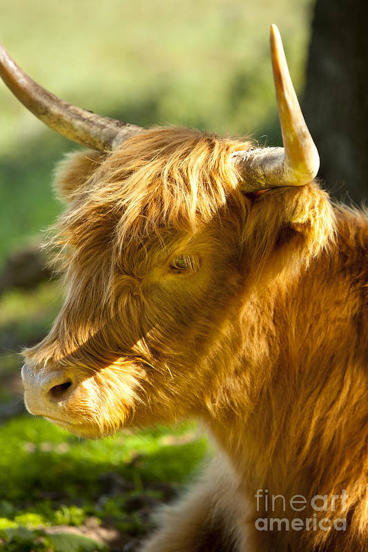 Scottish Art Print featuring the photograph Highland Cow by Brian Jannsen
