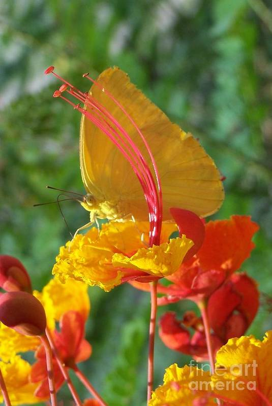 Flower Art Print featuring the photograph Butterfly by Randy Mass