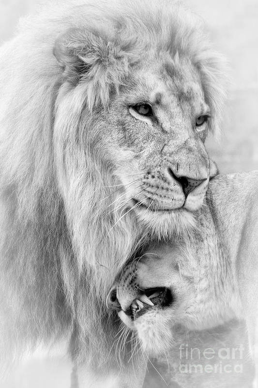 Lions Art Print featuring the photograph A Little Loving by Linda D Lester