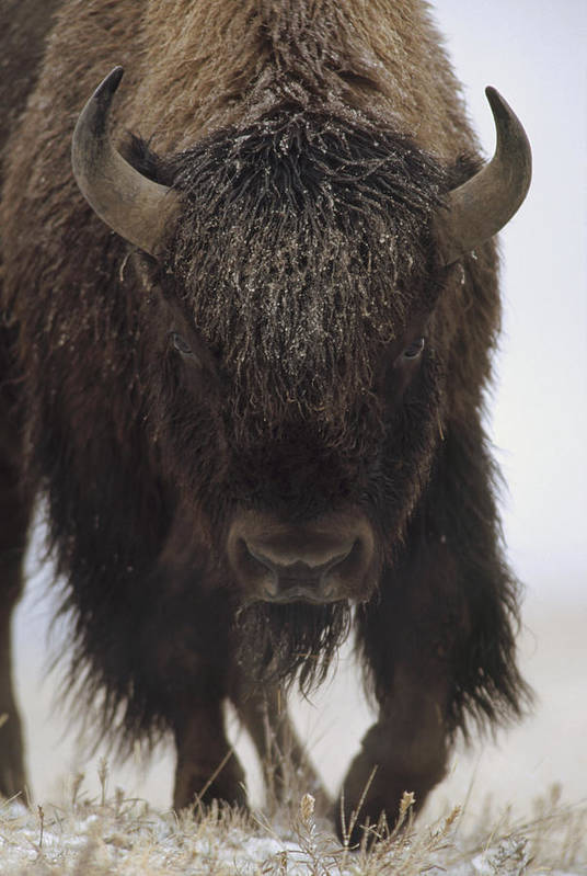 00172336 Art Print featuring the photograph American Bison Portrait by Tim Fitzharris