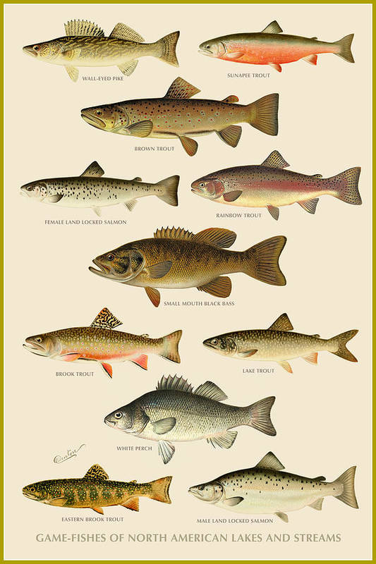 Animal Art Print featuring the painting American Game Fish by Gary Grayson