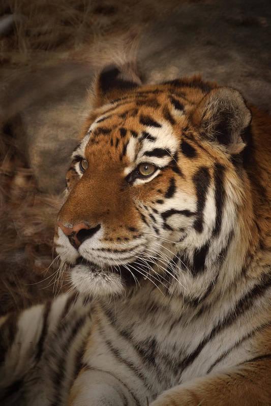 Tiger Art Print featuring the photograph Amur Tiger 2 by Ernie Echols