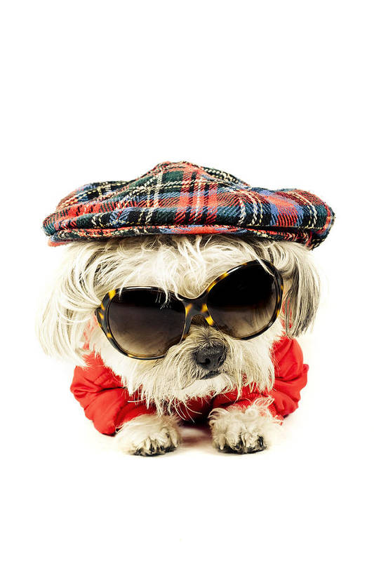 Pets Art Print featuring the photograph Animals  Funny Fashion Terrier Dog  With Flat-cap 527ee58406d