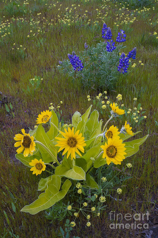 Nature Art Print featuring the photograph Arrowleaf Balsamroot And Lupine by John Shaw